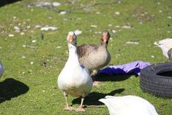 Ducks Looking, Duck Watching, Duck Photo,