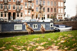 ducks on a canal in amsterdam