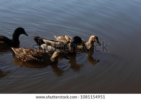Ducks on a pond and a pond itself #1081154951