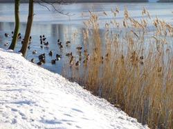 Ducks on a winter pond. Frozen pond. Urban park in the winter