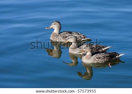 Ducks on clear blue water