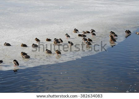 Ducks on Ice Shelf
