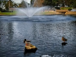 Ducks on rocks in Tewinkle Park lake in Costa Mesa, California, USA.