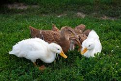 Ducks on the green grass. Ducks graze on the field. Domestic ducks eat green grass. Ducks sit in green grass.