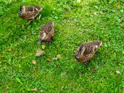 Ducks on the pond in the park. Wild ducks are reflected in the lake. Multi-colored feathers of birds. A pond with ducks and drakes. Duck feed on the surface of the water. Ducks eat food in the water