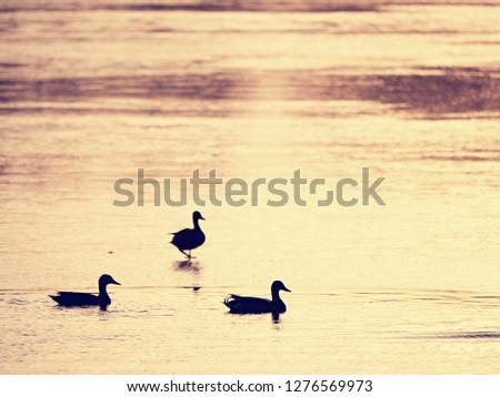 Ducks outlines. Ice cover is melting under the warm sun with bright rays reflecting in the frozen water. #1276569973