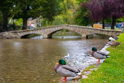 Ducks relaxing on the banks of the River Windrush in the village of Bourton-on-the-Water in Gloucestershire, UK.