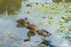 Ducks sit on pipe that goes into water of lake. Water near shore is covered with water lily leaves. One of ducks thoughtfully watches her own reflection
