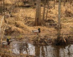 Ducks swim in a river near the forest
