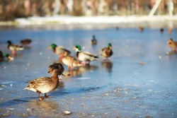 ducks swim on the lake in winter, a flock of ducks is preparing to fly to warm countries, wild ducks winter on a warm pond, many birds on the pond