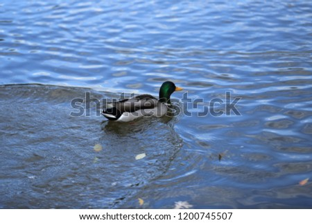 ducks swimming and olaying