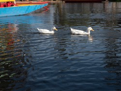 Ducks swimming  at Xochimilco's Floating Gardens. Water canal in quarter Xochimilco.