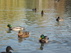 Ducks swimming in a pond at a autumn park. Wild ducks, drake, bird, wild bird, small bird, duck on the lake
