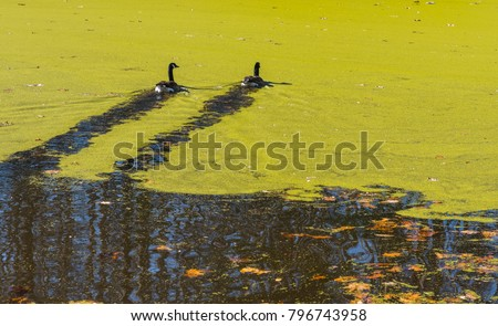 Ducks swimming in a pond covered with algae in the fall with leaves on the ground and bare trees.