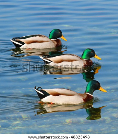 Ducks swimming in the river