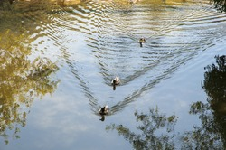 ducks swimming in the river with reflections
