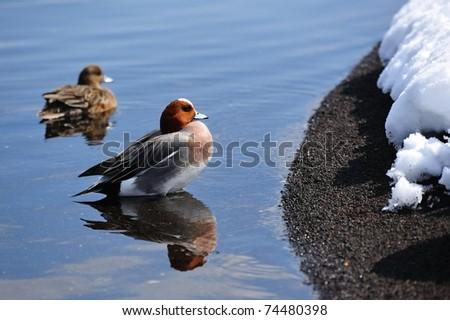 Ducks swimming near the snowy river bank
