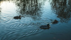 Ducks swimming on a canal in the British outdoors (mallard duck).