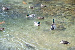 Ducks swimming on the clear wave river,carp fish and rock in clear water in morning time, Japan.