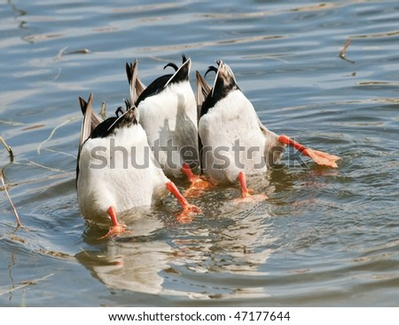 Ducks Teamwork Dive - stock photo
