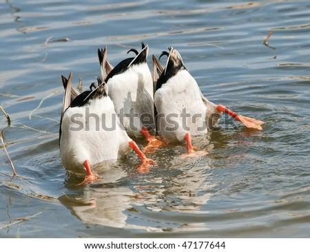 Ducks Teamwork Dive