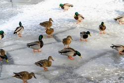 Ducks walk on ice in winter. Ducks on a frozen lake.