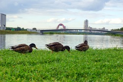 Ducks walk on the banks of a rowing canal in Moscow against the backdrop of the Picturesque cable-stayed bridge