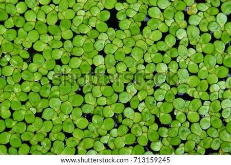 Duckweed, Natural Green Duckweed on The water for background or texture. - Shutterstock ID 713159245