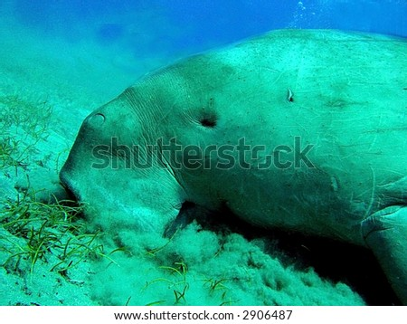 Dugong (similar to Manatee, but with whale tail) shot in the  Red Sea, Egypt