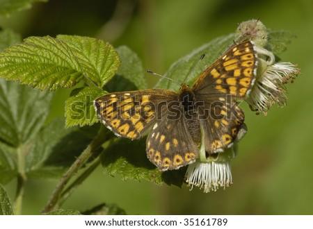 Duke Of Burgundy Fritillary Butterfly - Hamearis lucina on Bramble - stock photo