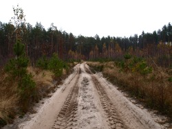 Dull, bleak and deserted forest in late autumn. The forest road across the old felling with young pine-trees. Overcast season and weather in November. Forest on the eve of winter