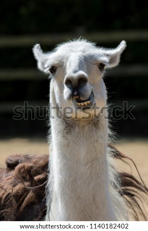 Dumb animal. Cute crazy llama pulling a face. Funny meme image of pet with an open mouth and stupid looking expression.