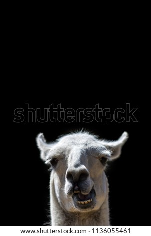 Dumb Animal. Goofy confused looking Llama head popping up with stupid talking face. Funny meme image isolated against black background with copy-space for message or speech bubble..  Stock foto ©