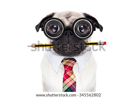 dumb crazy pug dog with nerd glasses as an office business worker with pencil in mouth , isolated on white background