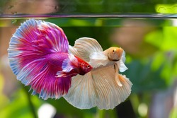 Dumbo Halfmoon Betta,Multi color Siamese fighting fish,Betta splendens,on nature background with clipping path