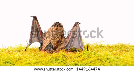 Dummy of wild bat on grass. Wild nature. Forelimbs adapted as wings. Mammals naturally capable of true and sustained flight. Bat emit ultrasonic sound to produce echo. Bat detector. Ugly bat. #1449164474