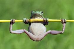Dumpy frog gymnastics, Australian white tree frog on leaves, dumpy frog on branch, animal closeup, amphibian closeup