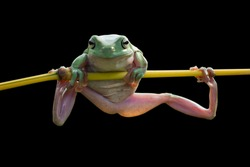 Dumpy frog, tree frog on branch with black background