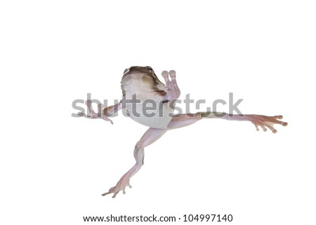 Dumpy Tree frog under water with legs out isolated on white background