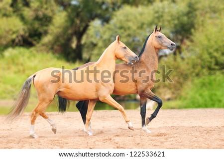 dun and palomino akhal-teke horses in the meadow
