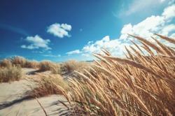 Dune grass at the beach of Skagen northern Denmark