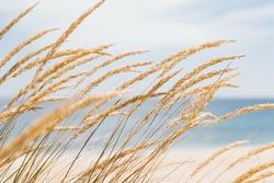 Dune grass sea landscape. Golden beach grass against a pastel beach background - Image