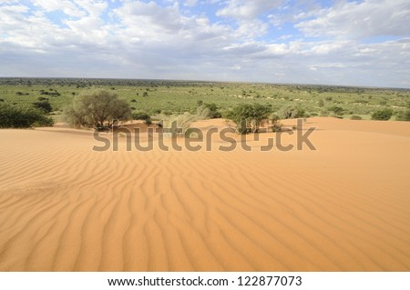 Dune view, Kalahari desert, northern cape, South africa . Adaptive vegetation and wavy sand patterns formed by prevailing wind