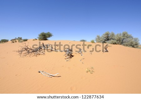 Dune view, Kalahari desert, northern cape, South africa. bleached wood on sand dune