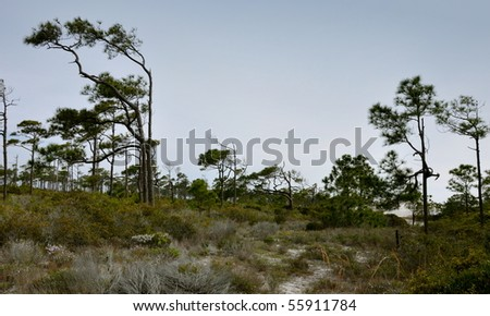 dunes and pine trees.