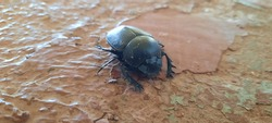 Dung beetle, Insect, Beatle, Bug on the floor
