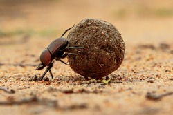 Dung beetle on his dung ball to impress the ladies in a game reserve,  part of the greater Kruger region in South Africa