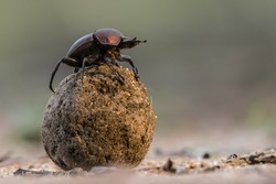 Dung beetle on his dung ball to impress the ladies in Sabi Sands GR,  part of the greater Kruger region in South Africa