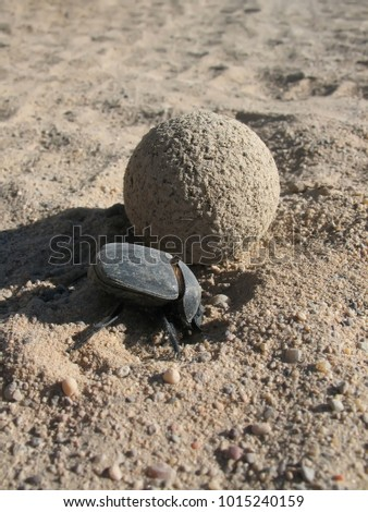 Dung beetle Synapsis tmolus burying a ball of dung to lay eggs, desert area in Southern Kazakhstan