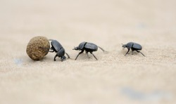 dung beetles on beach sand fighting for ball